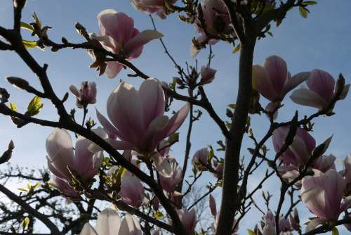 Magnolia Bush Flowers Pink Purple Sky