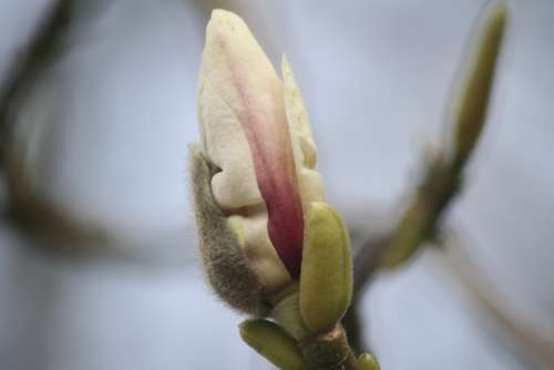 Magnolia Blossom Bloom Tree Pink Flowers Spring