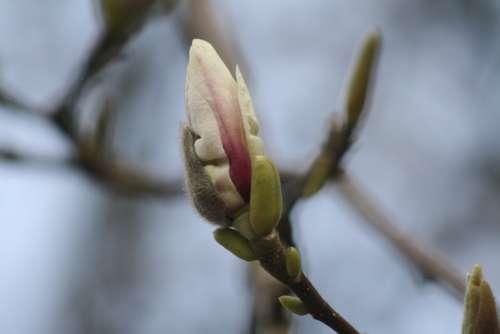 Magnolia Blossom Bloom Tree Pink Flowers Spring