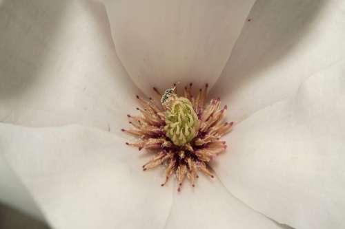 Magnolia Blossom Bloom Spring Beautiful Tender