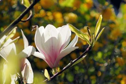 Magnolia Blossom Bloom Flower Beautiful Tender