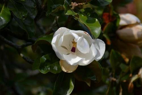 Magnolia Grandiflora Southern Magnolia White Flower