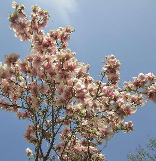 Magnolia Tree Spring Leaf White Purple Summer