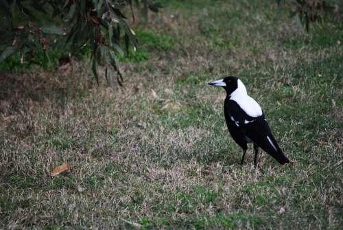 Magpie Australia Bird Australian Magpie
