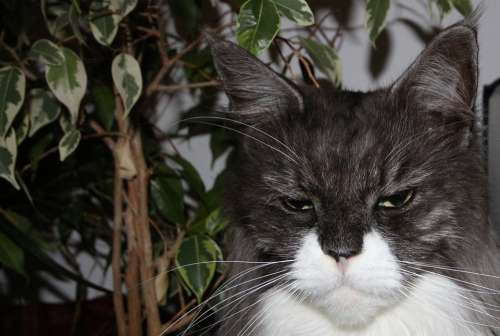 Maine Coon Cat Cat Face Animals Main Coon