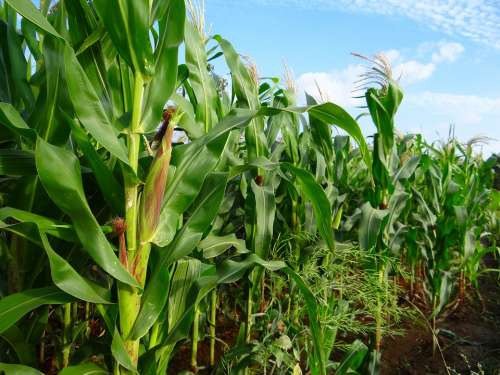 Maize Crop Corn Cultivation Agriculture Farm