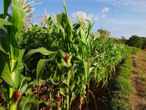 Maize Crop Corn Inflorescence Cultivation