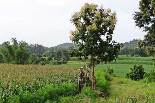 Maize Fields Perch Farmer'S Perch Teak Tree Farmers