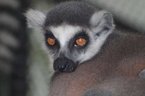 Maki Catta Lemur Primates Animal Mammal Nature