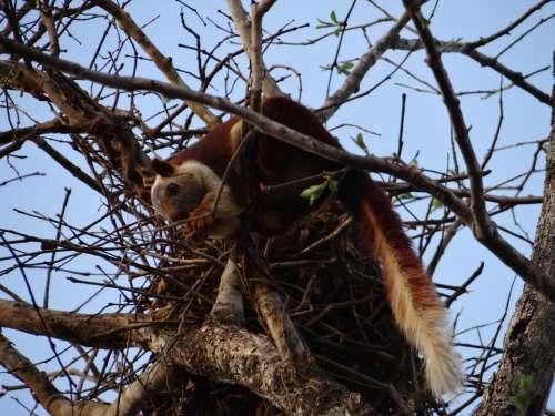 Malabar Giant Squirrel Dandeli Wildlife Karnataka