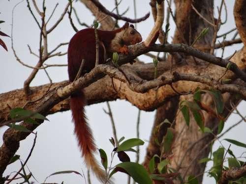 Malabar Giant Squirrel Ratufa Indica