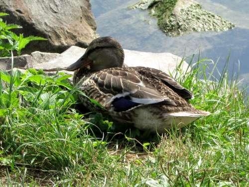 Mallard Duck Females Water Bird Bird Animals