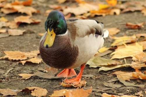 Mallard Water Bird Entenmaennchen Drake Duck Bird
