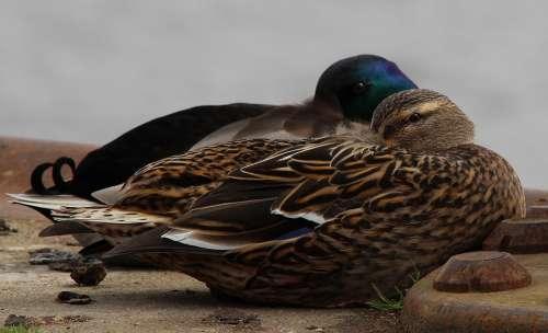 Mallard Anas Platyrhynchos Duck Duck Race Ducks