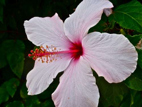 Mallow Hibiscus Blossom Bloom Pink