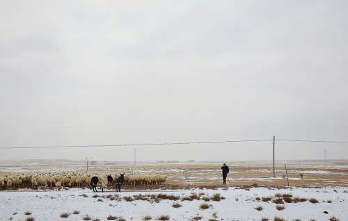 Man Sheep Shepherd Flock Winter Snow Cold Alone
