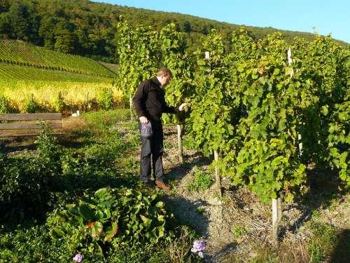 Man Person Vineyard Winegrowing Vines Vines Stock