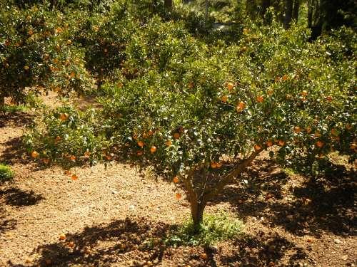 Mandarin Field The Cultivation Of Sad Trees Tree