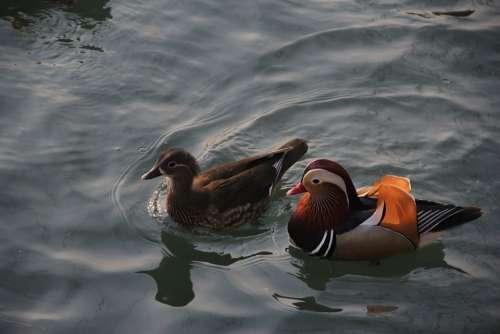 Mandarin Duck Conjugal Love Pairs Brooks