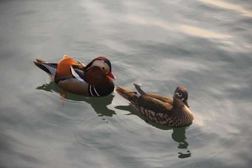 Mandarin Duck Brooks Not Ducks Pairs