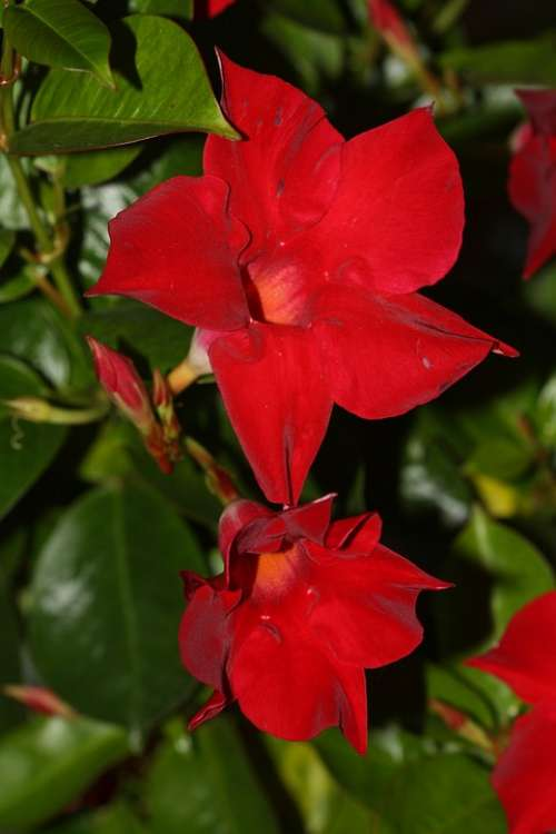 Mandevilla Funnel Flower Blossom Bloom Red
