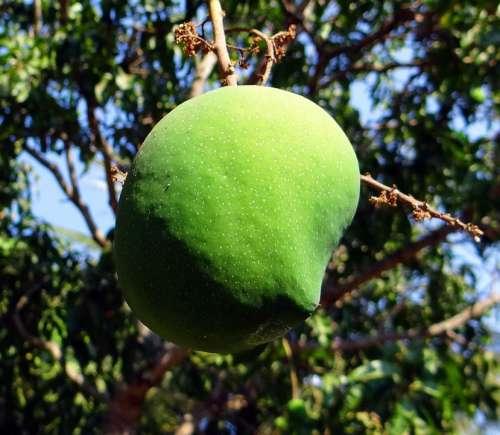 Mango Mangifera Indica Fruit Tropical Fruit Fresh