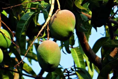 Mango Mangifera Indica About Ripe Tropical Fruit