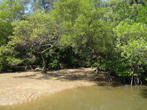 Mangrove Species Tidal Forest Creek Karwar India