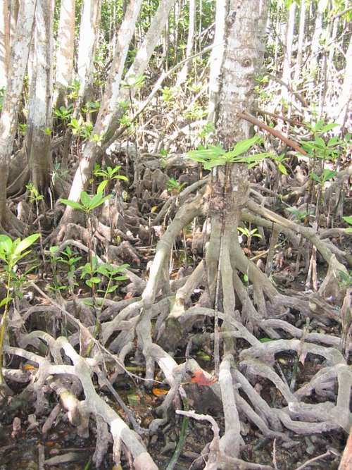 Mangrove Tree Root Coast
