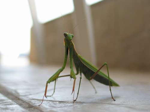 Mantis Insect Green Macro Closeup Antennae