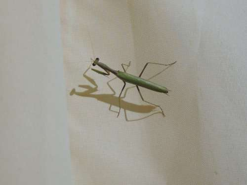 Mantis Religiosa Mantis Bugs Insects Animals