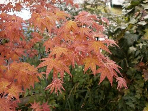 Maple Autumnal Leaves Maple Leaf Arboretum