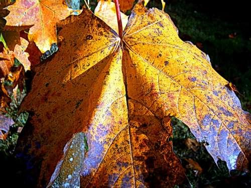 Maple Autumn Leaf Leaves Fall Foliage Color