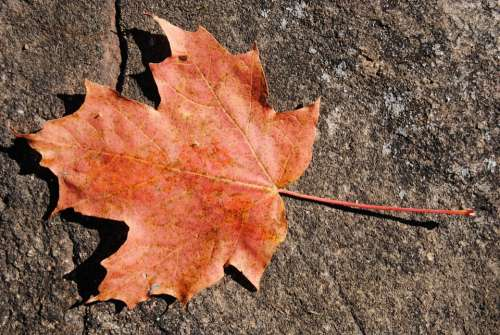 Maple Leaf Leaves Autumn Season Nature Dry