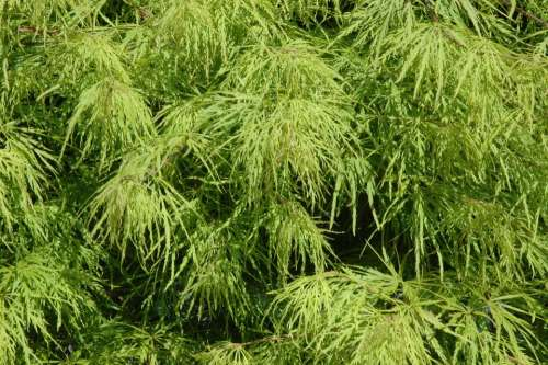 Maple Leaves Green Tree Acer Platanoides