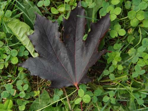 Maple Leaf Summer Nature Clover Meadow Wild Plant