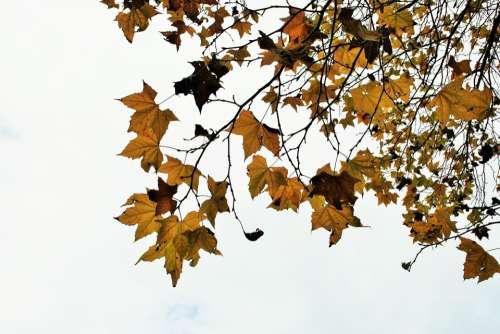 Maple Maple Leaves Maple Tree Plane Leaves Leaves