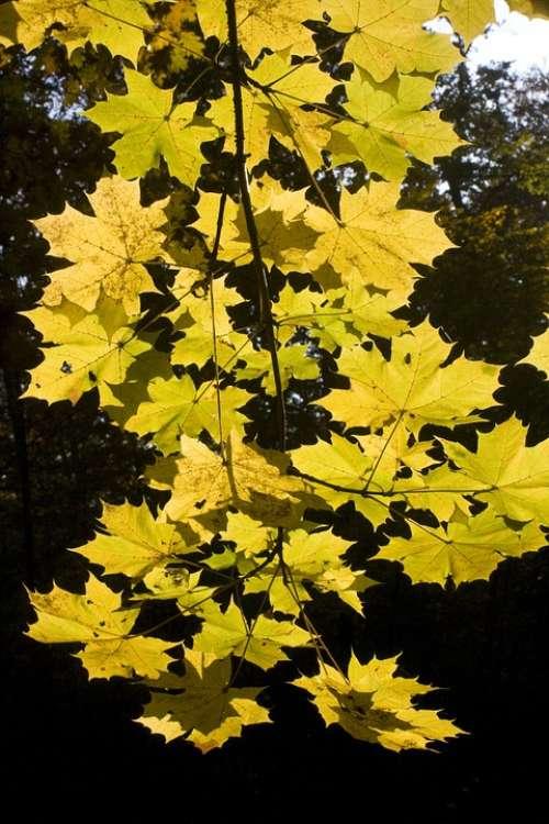 Maple Leaves Golden October Autumn Sunny Leaves