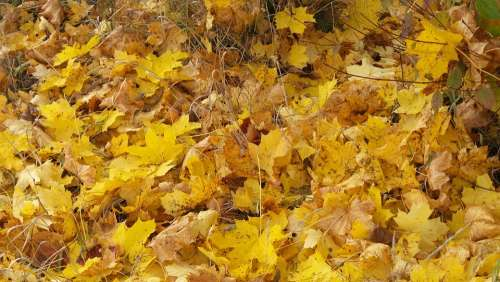 Maple Leaves Autumn Leaves Forest Floor Color