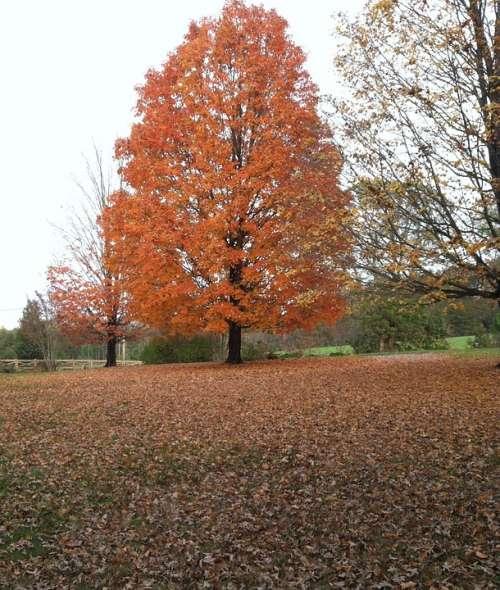 Maple Tree Fall Fall Foliage Orange Maple Tree