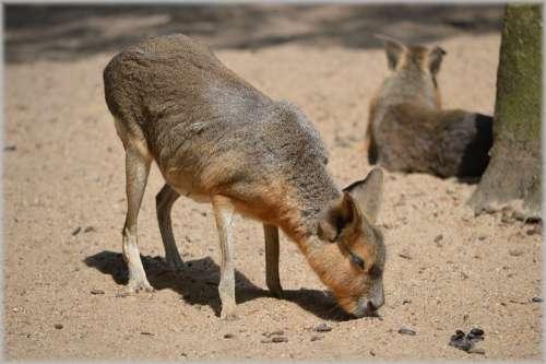 Mara Maras Shrub Deserts Grasslands Rodent