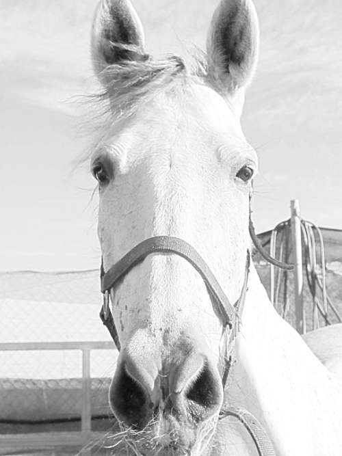 Mare Horse Horse Head Animal Equestrian Ride