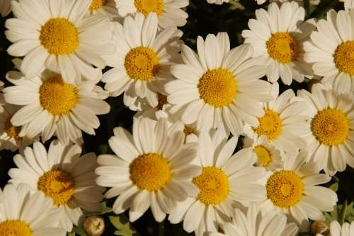 Margheriten Daisies Flowers Many Bloom White