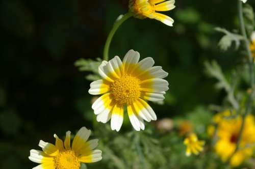 Marguerite Flower Stamp Summer Meadow Detail