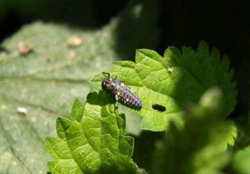 Marienkäfer Larva Larva Beetle Ladybug Insect