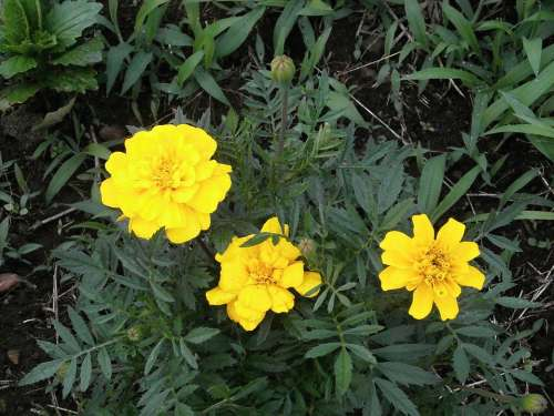 Marigold Yellow Flowers Summer Flowers Flower Bed