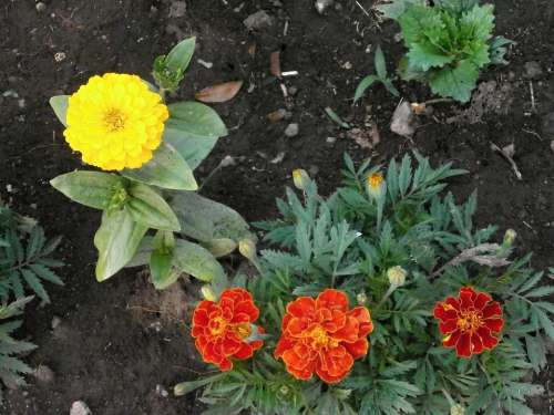 Marigold Zinnia Zinnia Elegans Yellow Flowers