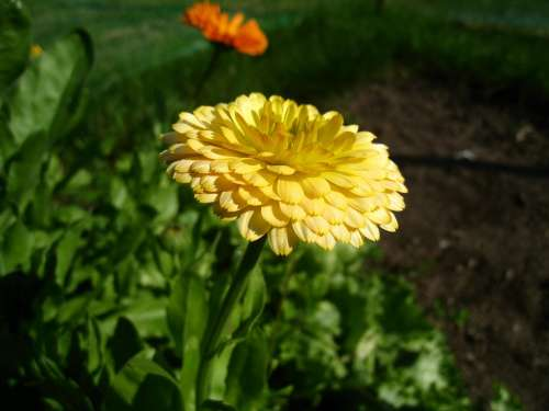 Marigold Yellow Summer Garden Green