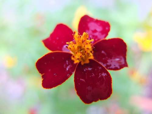 Marigold Blossom Bloom Red Flower Plant