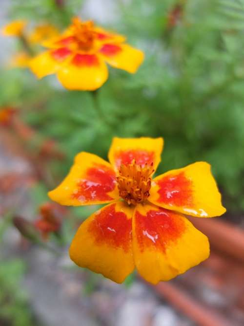 Marigold Blossom Bloom Colorful Flower Plant